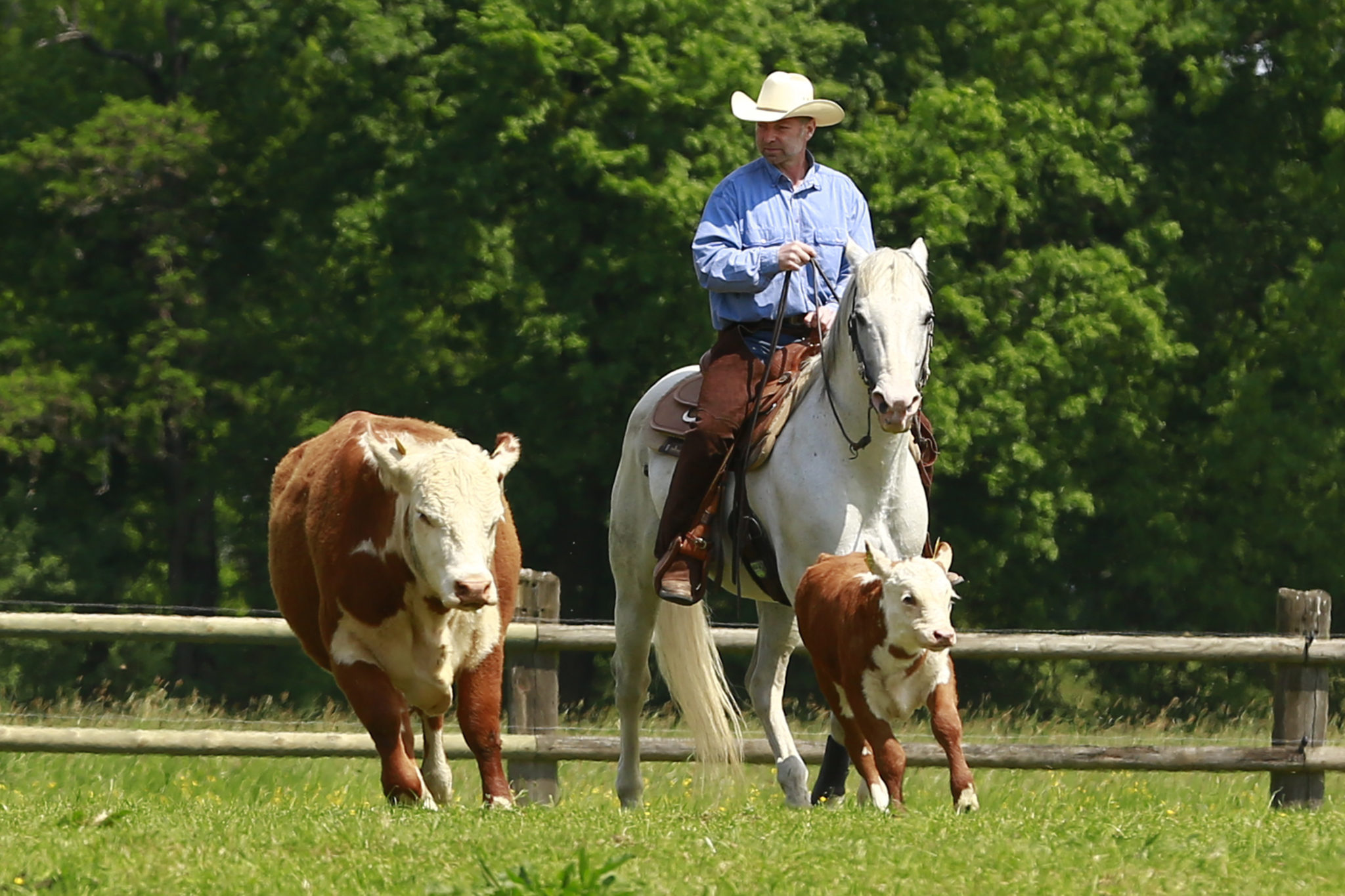 Hereford Graditz Elbwiesenrinder und Leipziger Cowboy